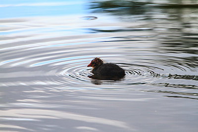 Little coot - p417m1154840 by Pat Meise