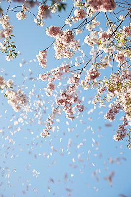 Pink petal - p4641660 by Elektrons 08