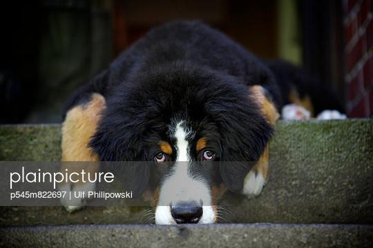 Berner Sennenhund - p545m822697 von Ulf Philipowski