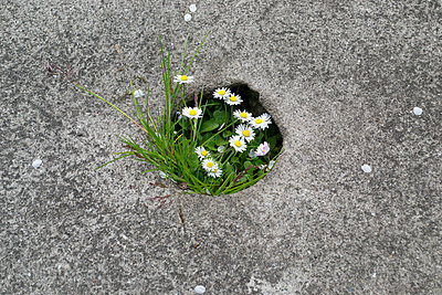 Gänseblümchen - p1199m1020688 von Claudia Jestremski