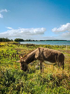 Donkey at the Baltic coast - p382m2283986 by Anna Matzen