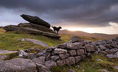The Hound of the Baskervilles, roaming Belstone Tor on Dartmoor National Park, Devon, England, United Kingdom, Europe - p871m805589 by Adam Burton