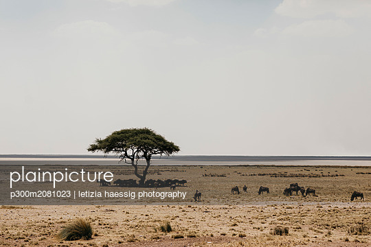 Namibia, Etosha National Park, Gnus under a tree - p300m2081023 by letizia haessig photography