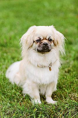 Pet dog on grass - p1239m2272378 by Krista Keltanen