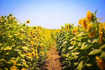 Field of Sunflowers - p578m2108661 by Genie C Balantac