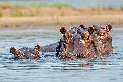 Zambia, Southeastern Zambia, Lower Zambezi National Park.  Hippos wallowing in the Zambezi River. - p652m1221481 by Nigel Pavitt