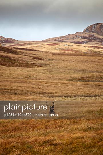 Hirsch im Gras - p1234m1044579 von mathias janke