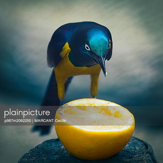 plainpicture - plainpicture p987m2062250 - Exotic bird with strange lo... - plainpicture/Lightmotiv/MARCANT Cecile