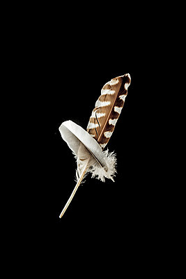 Two feathers on a black background - p1302m2254400 by Richard Nixon