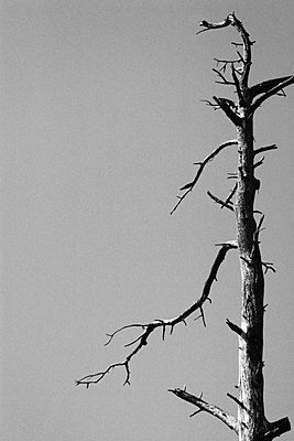 Dead Tree - p6943514 by Tomas Thelin