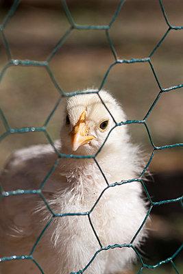 Poultry - p739m808632 by Baertels