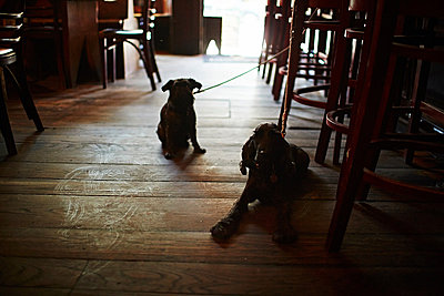Two dogs on leads in bar - p429m802470 by Cultura