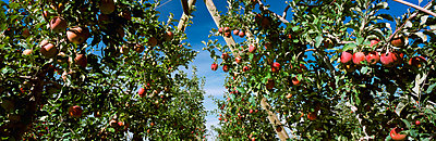 Agriculture, Looking down between rows of trees in a Fuji apple orchard utilizing a �V� trellis system. / Walla Walla County, Washington, USA. - p442m936212 by Charles Blakeslee