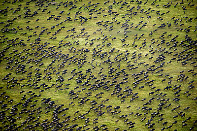 Aerial view wildebeest migration, Serengeti National Park, Tanzania, Africa - p651m2271098 by Paul Joynson Hicks photography