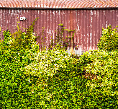 Corrugated iron wall with security camera overgrown with ivy - p1082m2288036 by Daniel Allan
