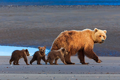 Brown bear sow and cubs - p1100m887866f by Art Wolfe