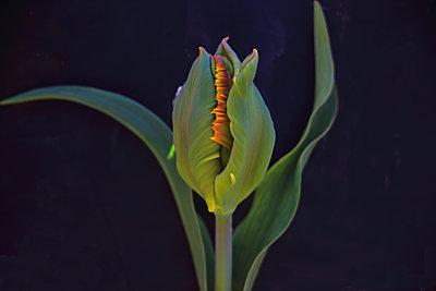 Tulpe - p1054m2044815 von Maria Kazvan