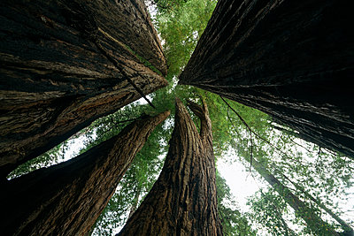 Low angle view of trees against sky at Redwood National Park - p1166m1414691 by Cavan Images