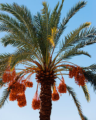 A date palm. - p343m1554701 by Ron Koeberer