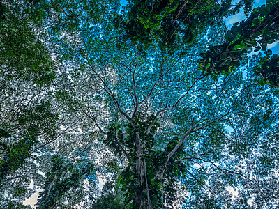 Looking up into the canopy of trees in the lush rainforests of Oahu; Oahu, Hawaii, United States of America - p442m2091964 by Robert Postma