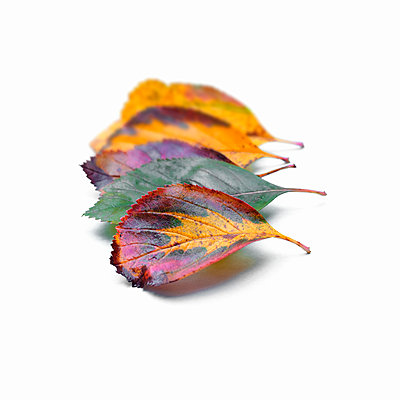 Autumn leaves on a white background - p1228m2215100 by Benjamin Harte