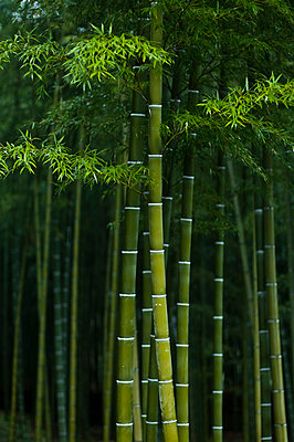 Bamboo Forest, Arashiyama, Kyoto, Japan - p442m905647 by Mark Hemmings