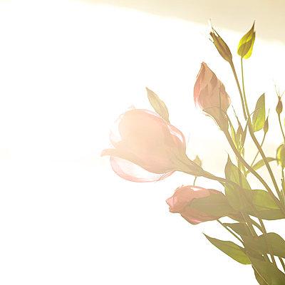 Blumen im Gegenlicht - p6060631 von Iris Friedrich