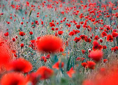 Field of corn poppies (Papaver rhoeas) - p300m2197575 by Brigitte Stehle