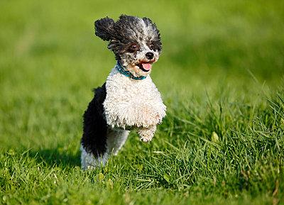 Dog running in meadow - p300m818858f by Silke Klewitz-Seemann