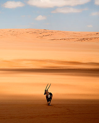 Rear view of oryx standing in the African desert. - p1100m1570961 by Mint Images
