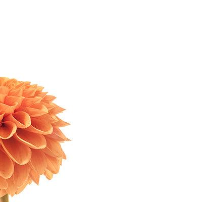 close up of orange dahlia on white - p1470m1541305 by julie davenport