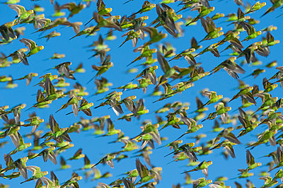 Budgerigar  flock flying, Wannoo, Western Australia, Australia - p884m1129373 by Roland Seitre