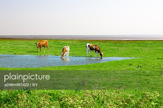 Drei Kühe am Teich - p248m951422 von BY