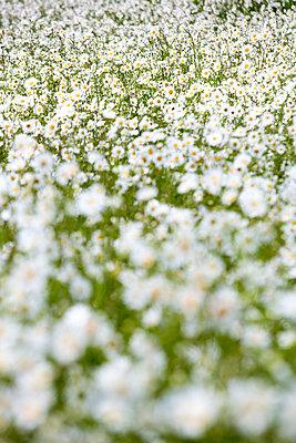 Feld mit Gänseblümchen - p1057m1444630 von Stephen Shepherd