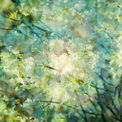 White blossoms in the sunshine, multiple exposure - p1640m2245918 by Holly & John