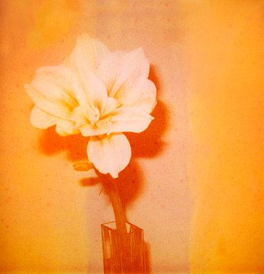 Amaryllis - p171m901050 by Rolau