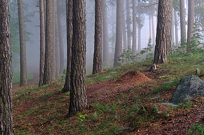 Pine forest - p575m714908 by Kenneth Bengtsson
