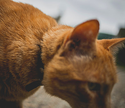 Orange cat - p1113m932908 by Colas Declercq