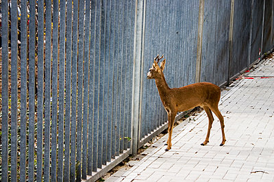 Lost roebuck by metal fence - p1385m1424407 by Beatrice Jansen