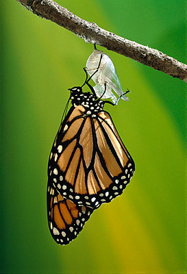 Monarch butterfly emerging from cocoon - p8840651 by Jim Brandenburg