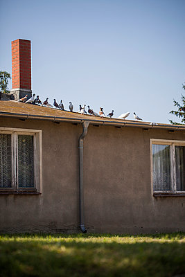 Pigeons on Old House - p941m907803 by lina gruen