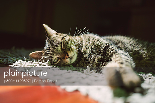 Portrait of tabby cat relaxing on a carpet at home