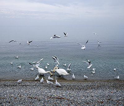 Vögel am Genfer See - p567m1530405 von Gaëlle Magder
