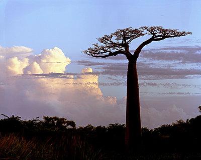 Baobabs auf Madagaskar - p1016m792562 von Jochen Knobloch