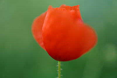 Poppy flower - p1578m2187246 by Marcus Hammerschmitt