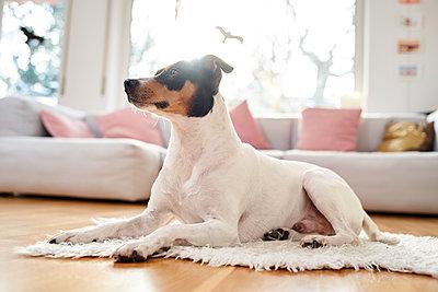 A terrier in the living room - p430m2233762 by R. Schönebaum