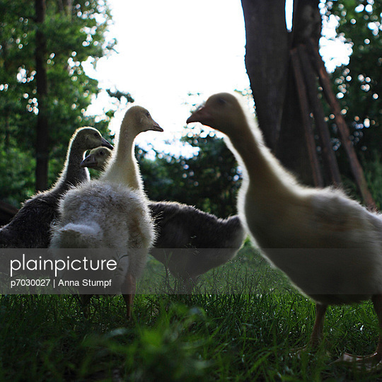 Geese in the country - p7030027 by Anna Stumpf