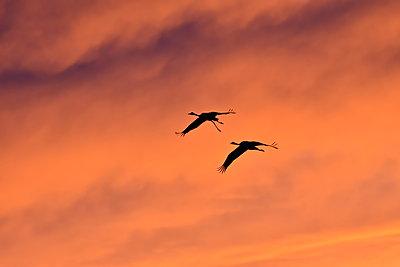 Zwei Kraniche, einer davon mit verletztem Bein, fliegen durch den Abendhimmel - p235m2021747 von KuS