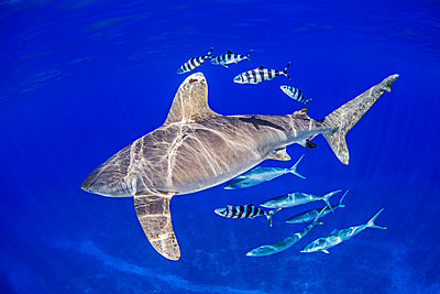 Oceanic Whitetip Shark with pilot fish and rainbow runners around it - p429m1135348f by Ken Kiefer 2