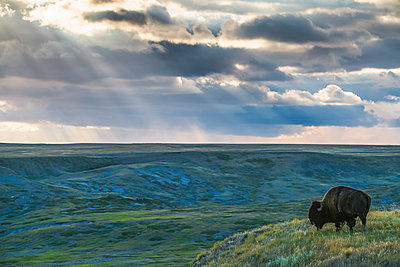 A lone bison (bison bison) grazes on the buttes of Grasslands National Park; Saskatchewan, Canada - p442m1449167 by Robert Postma